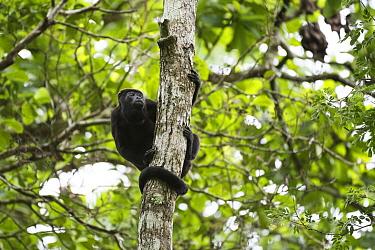 Mantled Howler Monkey (Alouatta palliata), Soberania National Park, Panama