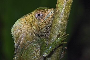 Smooth Helmeted Iguana (Corytophanes cristatus), El Valle, Panama