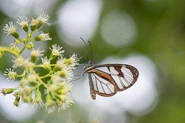 Diasia Clearwing (Ithomia diasia) butterfly, El Valle, Panama