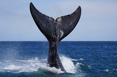 Southern Right Whale (Eubalaena australis) tail slapping, Peninsula Valdez, Argentina