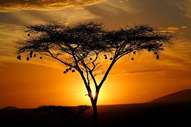 Weaver (Ploceidae) nests at sunrise, Samburu National Park, Kenya