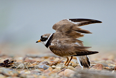 Common Ringed Plover (Charadrius hiaticula) stretching, Schleswig-Holstein, Germany