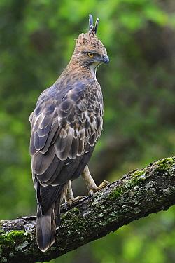 Changeable Hawk-Eagle (Spizaetus cirrhatus), India