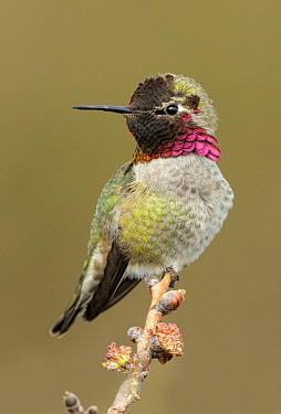 Anna's Hummingbird (Calypte anna), British Columbia, Canada