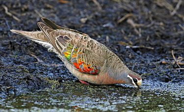Common Bronzewing (Phaps chalcoptera) male drinking, Victoria, Australia