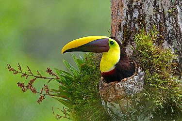 Chestnut-mandibled Toucan (Ramphastos swainsonii) in nest cavity, Costa Rica