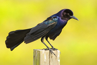 Boat-tailed Grackle (Quiscalus major) male, Florida