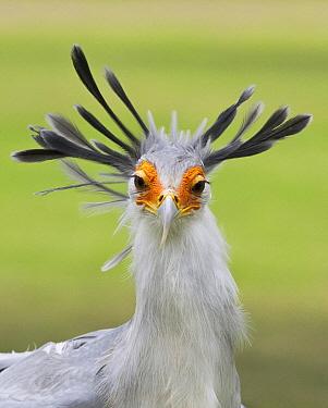 Secretary Bird (Sagittarius serpentarius), Kenya