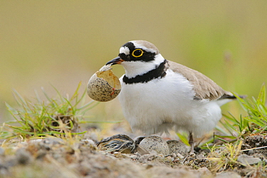 Little Ringed Plover (Charadrius dubius) parent removing egg shell from nest, North Rhine-Westphalia, Germany