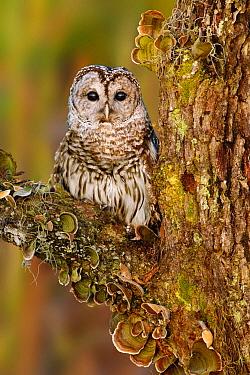 Barred Owl (Strix varia), Florida