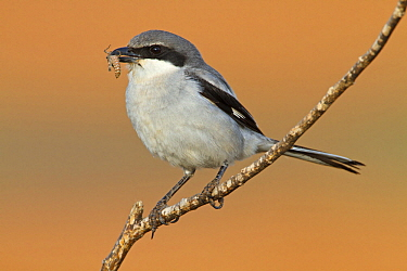 Southern Grey Shrike (Lanius meridionalis) with insect prey, Fuerteventura, Spain