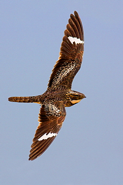 Common Nighthawk (Chordeiles minor) flying, Texas