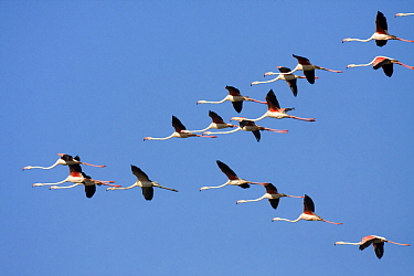 Greater Flamingo (Phoenicopterus ruber) flock flying, Andalusia, Spain