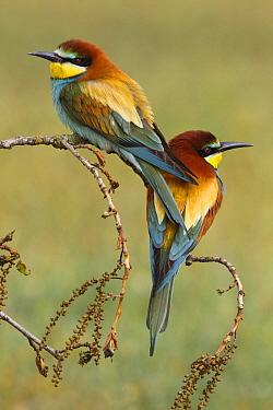 European Bee-eater (Merops apiaster) pair, Spain
