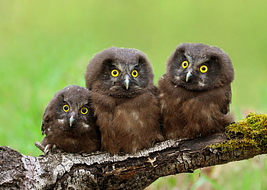 Boreal Owl (Aegolius funereus) chicks, Saskatchewan, Canada