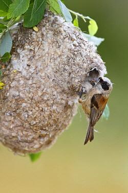 Eurasian Penduline-Tit (Remiz pendulinus) male at nest, Spain