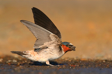 American Cliff Swallow (Petrochelidon pyrrhonota) collecting mud for nest, Wyoming