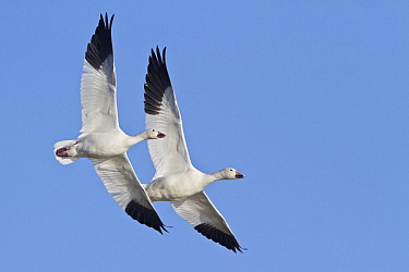 Snow Goose (Chen caerulescens) pair flying, New Mexico