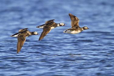Long-tailed Duck (Clangula hyemalis) trio flying, Manitoba, Canada