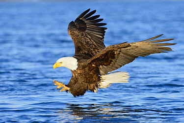 Bald Eagle (Haliaeetus leucocephalus) hunting, Alaska