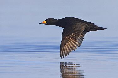 Black Scoter (Melanitta nigra) flying, Manitoba, Canada