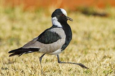 Blacksmith Lapwing (Vanellus armatus), Hardap, Namibia