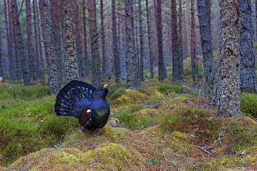 Western Capercaillie (Tetrao urogallus) male displaying in forest, Scotland, United Kingdom