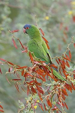 Blue-crowned Parakeet (Aratinga acuticaudata), Bolivia