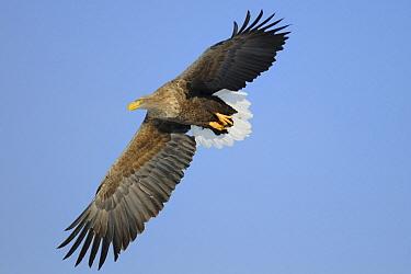 White-tailed Eagle (Haliaeetus albicilla) flying, Hokkaido, Japan