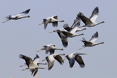 Demoiselle Crane (Anthropoides virgo) flock flying, India
