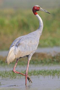 Sarus Crane (Grus antigone), Keoladeo National Park, India