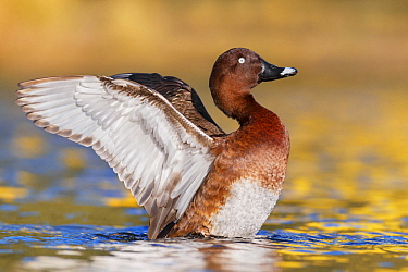 White-eyed Duck (Aythya australis) male flapping wings, Australia
