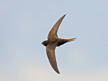 Common Swift (Apus apus) flying, Wales, United Kingdom