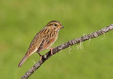 Lincoln's Sparrow (Melospiza lincolnii), Saskatchewan, Canada