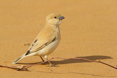 Desert Sparrow (Passer simplex) female, Morocco