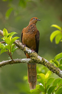 Brown Cuckoo-Dove (Macropygia phasianella), Queensland, Australia