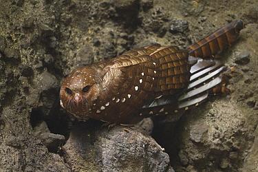 Oilbird (Steatornis caripensis), Pichincha, Ecuador