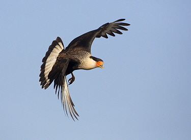 Northern Caracara (Caracara cheriway) flying, Texas