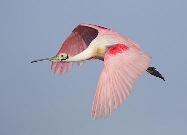 Roseate Spoonbill (Platalea ajaja) flying, Texas