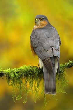 Eurasian Sparrowhawk (Accipiter nisus) male, Utrecht, Netherlands