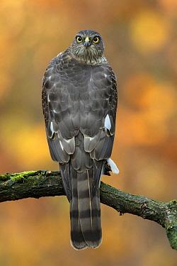 Eurasian Sparrowhawk (Accipiter nisus) sub-adult male, Utrecht, Netherlands