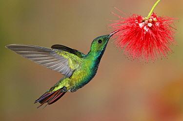 Green-breasted Mango (Anthracothorax prevostii) male feeding on flower nectar, Costa Rica