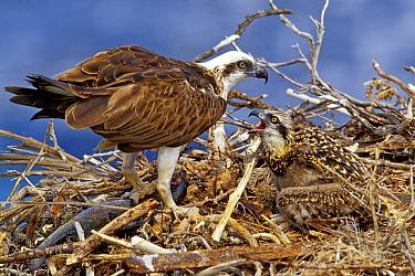 Eastern Osprey (Pandion cristatus) parent feeding chick in nest, Western Australia, Australia