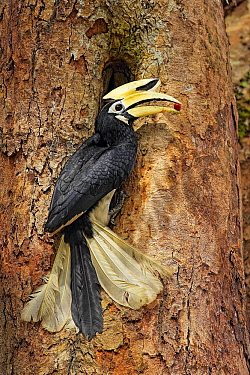 Oriental Pied-Hornbill (Anthracoceros albirostris) male bringing food to nest cavity, Singapore