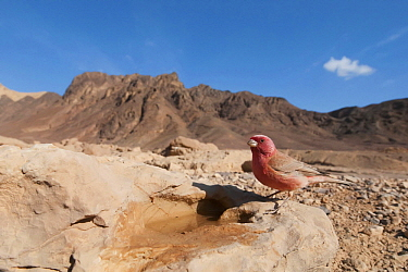 Pale Rosefinch (Carpodacus synoicus) male in desert, Eilat, Israel