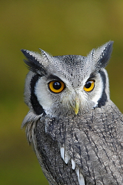 Southern White-faced Owl (Ptilopsis granti), native to southern Africa