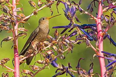 Giant Hummingbird (Patagona gigas), O'Higgins Region, Chile