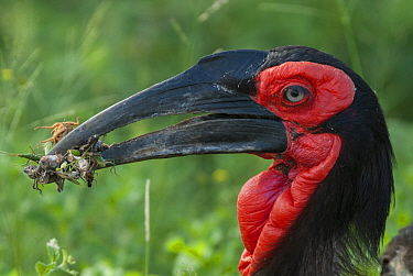 Ground Hornbill (Bucorvus leadbeateri) with insect prey, Mpumalanga, South Africa