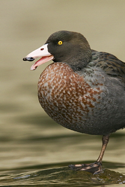 Blue Duck (Hymenolaimus malacorhynchos) calling, New Zealand