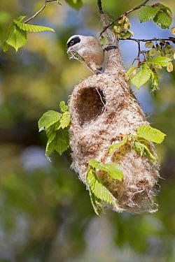 Eurasian Penduline-Tit (Remiz pendulinus) male building nest, Saxony-Anhalt, Germany